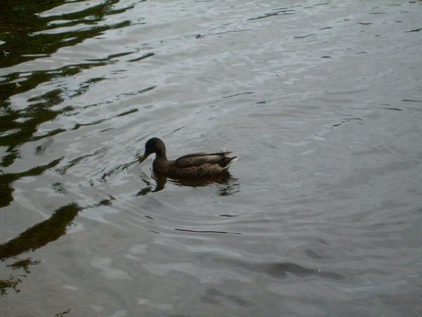 The Loch Ness Quack! Quack!